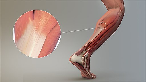 Magnified_view_of_a_Tendon